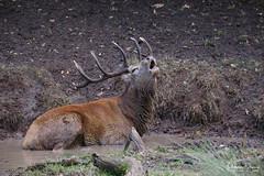 cerf-0152 (Philippe Druesne) Tags: cervuselaphus cerfélaphe reddeer stag rut brame animal mammifére mamal mammifère cervus elaphus cerf élaphe red deer