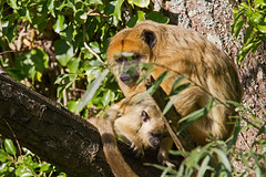mother and baby - Black Howler Monkey (Alouatta caraya) - Paignton Zoo, Devon - Sept 2019 (Dis da fi we) Tags: black howler monkey alouatta caraya paignton zoo devon mother baby brown