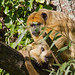 mother and baby - Black Howler Monkey (Alouatta caraya) - Paignton Zoo, Devon - Sept 2019