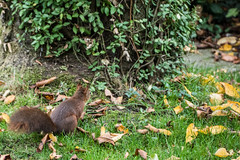 Eichhörnchen 001_Web-compressed (berni.radke) Tags: eichhörnchen sciurus baumhörnchen sciurini eurasischeseichhörnchen scoiattolo eekhoorn squirrel écureuil wiewiórka egern
