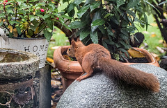 Eichhörnchen 013_Web-compressed (berni.radke) Tags: eichhörnchen sciurus baumhörnchen sciurini eurasischeseichhörnchen scoiattolo eekhoorn squirrel écureuil wiewiórka egern