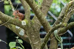Eichhörnchen 004_Web-compressed (berni.radke) Tags: eichhörnchen sciurus baumhörnchen sciurini eurasischeseichhörnchen scoiattolo eekhoorn squirrel écureuil wiewiórka egern