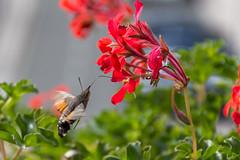 Tximeleta-4165 (jabi0911) Tags: esfingecolibrí natura natural alas colibrí flor geranio insecto libar mariposa polilla trompa vuelo