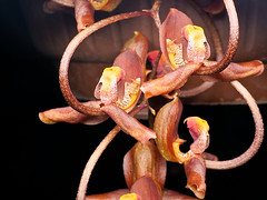 Gongora galeata (Eerika Schulz) Tags: gongora galeata herrenhausen berggarten herrenhäuser gärten hannover eerika schulz