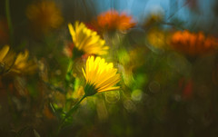 wildflowers (Dhina A) Tags: edar 100mm f28 edar100mmf28 100 28 vintage old antique projection projector lens bubble circle ring bokeh manualfocus colorful wildflower flower sony a7rii ilce7rm2 a7r2 a7r