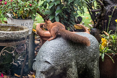 Eichhörnchen 012_Web-compressed (berni.radke) Tags: eichhörnchen sciurus baumhörnchen sciurini eurasischeseichhörnchen scoiattolo eekhoorn squirrel écureuil wiewiórka egern