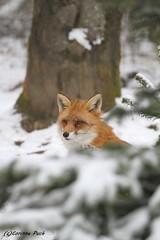 Renard roux (Passion Animaux & Photos) Tags: renard roux red fox parc animalier saintecroix france