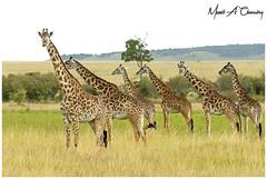 Tower of Giants! (Wild Pixels Safaris) Tags: towerofgiants giraffe masaigiraffe giraffa animal mammal wildlife herbivore ungulates africanwildlife wildafrica wildanimal wildlifephotography safari gamedrive outdoors outofafrica nature naturephotography endangeredspecies endangered criticallyendangered masaimara maasaimaragamereserve kenya macswildpixels wildpixelsafaris munibachaudry towerofgiraffes coth alittlebeauty specanimal coth5 sunrays5 ngc npc
