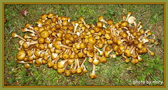 Autumn Fungi (maryimackins) Tags: