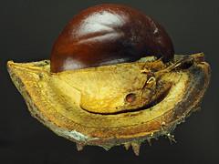 Horse Chestnut (Aesculus hippocastanum) (Nick_Fisher) Tags: horse chestnut aesculus macro stacked hippocastanum zerene nickfisher mark olympus ii omd em10 olympusomdem10markii