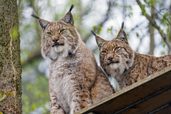 Two brothers on the platform (Tambako the Jaguar) Tags: lynx big wild cat male brothers two together posing sitting platform wood tree looking portrait face johnskleinefarm zoo kallnach switzerland nikon d5