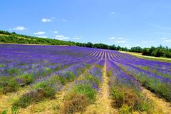 P1140929 (alainazer) Tags: revestdubion provence france fiori fleurs flowers fields champs ciel cielo sky colori colors couleurs lavande lavanda lavender
