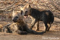Spotted Hyena / Hyène tachetée (Herve Tainturier) Tags: spottedhyena hyènetachetée hyena