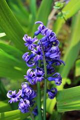 Hyacinth (sumi!) Tags: chiba japan flower hyacinth purple