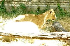 Buffalo Zoo (Tiger_Jack) Tags: zoo zoos zoosofnorthamerica itsazoooutthere animals animal buffalozoo bigcat bigcats flickrbigcats lions lion