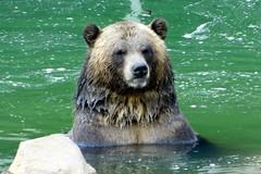 Memphis Zoo (Tiger_Jack) Tags: zoo zoos zoosofnorthamerica itsazoooutthere animals animal memphis memphiszoo bears bear