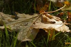 Grounded (Tony Tooth) Tags: nikon d7100 sigma 70mm leaf fallenleaf fallen autumn droplets leek staffs staffordshire