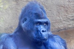 Memphis Zoo (Tiger_Jack) Tags: zoo zoos zoosofnorthamerica itsazoooutthere animals animal memphis memphiszoo gorillas gorilla primate primates ape apes