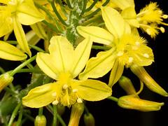 Bulbine frutescens (Eerika Schulz) Tags: bulbine frutescens herrenhausen berggarten herrenhäuser gärten hannover eerika schulz