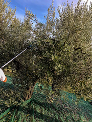 Raccolta 2019 (Olio Poldo - Olio Extra Vergine di Oliva) Tags: oliopoldo cucinaconpoldo poldo olioextraverginedioliva olioextraverginedoliva olio olioevo oliveoil extravirginoliveoil evo evoo olivenol nativesolivenol nativesolivenolextra raccolta harvesting olive olivetree olivegrove uliveto ulivo
