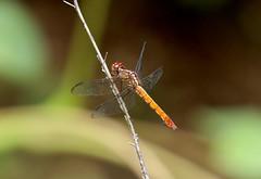 Female Roseate Skimmer --- Orthemis ferruginea (creaturesnapper) Tags: odonata dragonflies libellulidae insects panama roseateskimmer orthemisferruginea