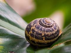 Chiocciola (silvia07(very busy)) Tags: chiocciola snail foglia leaf green verde nature animali animals conchiglia shell
