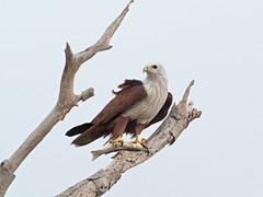 Brahminy Kite (ChongBT) Tags: nature natural animal bird avian malaysia olympus ornithology watching birdwatching wild wildlife haliastur indus brahmin kite
