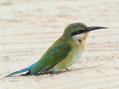 Blue-tailed Bee-eater (ChongBT) Tags: nature natural animal bird avian malaysia olympus ornithology watching birdwatching wild wildlife blue tailed bee eater merops philippinus