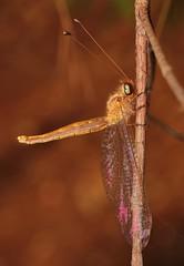 Owlfly (Ascalaphinae, Myrmeleontidae, Neuroptera) (John Horstman (itchydogimages, SINOBUG)) Tags: insect macro china yunnan itchydogimages sinobug entomology canon owlfly neuroptera ascalaphinae myrmeleontidae brown fb tumblr