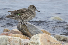 Sarcelle d'hiver - Green-winged Teal (Frimousse45) Tags: greenwingedteal lesescoumins sarcelledhiver