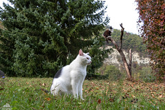 ...Like a Buzzard ♣ (Xena*best friend*) Tags: richardgere rg zivadavid ncisspecialagent weathergirl whitecat pine cats whiskers feline katzen gatto gato chats furry fur pussycat feral tiger pets kittens kitty animals piedmontitaly piemonte canoneos760d italy wood woods wildanimals wild paws calico markings ©allrightsreserved purr digitalrebelt6s efs1855mmf3556is flickr outdoor animal pet photo nature catlover autumn automne autunno outono virginiacreeper