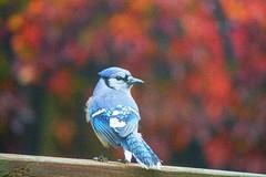 Autumn and I (elenashen5) Tags: animal bird bluejay autumn fall virginiacreeper colorful red purple