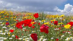 Colores de Primavera (Francisco José Rubio) Tags: colores andalucía naturaleza verde rojo amarillo