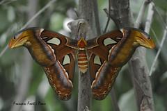 Attacus atlas (Francesc F P) Tags: attacusatlas papallona papallonaatlas mariposa mariposaatlas fauna natura mariposarium castellódempúries macrofotografia macro naturaleza nature butterfly papillon