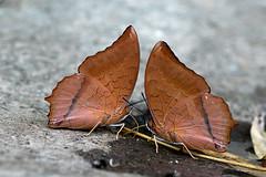 Charaxes bernardus - the Tawny Rajah (BugsAlive) Tags: butterfly mariposa papillon farfalla 蝴蝶 dagvlinder 自然 schmetterling бабочка conbướm ผีเสื้อ animal outdoor insects insect lepidoptera macro nature nymphalidae charaxesbernardus tawnyrajah charaxinae wildlife doisutheppuinp chiangmai ผีเสื้อในประเทศไทย liveinsects thailand thailandbutterflies nikon105mm bugsalive ผีเสื้อม้าแดงธรรมดาตาลหนามแดง