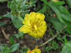 IMG_2262 (jesust793) Tags: flores flowers naturaleza nature