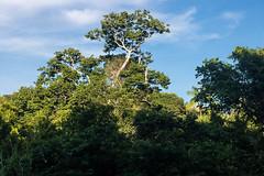 São Gabriel da Cachoeira-AM (Johnny Photofucker) Tags: sãogabrieldacachoeira am amazonas amazon amazônia árvore tree albero lightroom brasil brazil brasile selva jungle giungla floresta forest foresta rainforest florestaamazônica natureza nature natura 40mm pancake