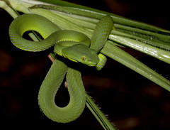 Siamese Peninsula Pit Viper (Trimeresurus fucatus) (cowyeow) Tags: frasershill wildlife nature forest malaysia asia asian herp herping herps herpetology green snake treesnake siamesepeninsulapitviper trimeresurusfucatus siamese peninsula pitviper trimeresurus fucatus viper venom venomous pahang