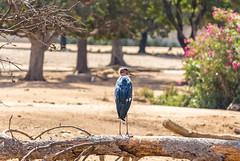 Wild birds (avibar361) Tags: naturalwildlife bird kookoobird summer safari