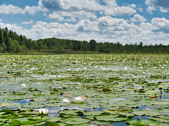 High summer (Wicked Dark Photography) Tags: landscape wisconsin kayaking nature paddling summer water waterlily waternature