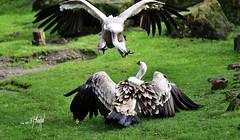 Gänsegeier (hansjrgenknppel) Tags: gänsegeier geier vogel natur nikon d 850