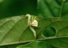 Whitebanded Crab Spider --- Misumenoides formosipes (creaturesnapper) Tags: panama spiders araneae crabspiders whitebandedcrabspider misumenoidesformosipes thomisidae