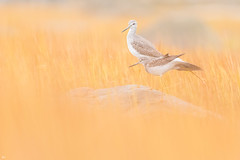 ''Chorégraphie Révolution!'' Petit chevalier-Lesser yellowlegs (pascaleforest) Tags: canada quebec faune wildlife wild nature nikon passion animal bird oiseau
