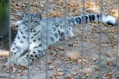 Memphis Zoo (Tiger_Jack) Tags: zoo zoos zoosofnorthamerica itsazoooutthere animals animal memphis memphiszoo bigcat bigcats flickrbigcats snowleopard snowleopards