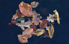 The Subtle Beauty Of Decay (AnyMotion) Tags: floating schwimmend leaf leaves blatt blätter foliage autumncolours pond teich herbstfärbung 2019 anymotion plants pflanzen nature natur botanischergarten frankfurt colours colors farben orange yellow gelb brown braun 7d2 canoneos7dmarkii autumn fall herbst automne otoño ngc npc