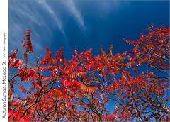 Autumn Sumac, McLeod St. (jwvraets) Tags: grimsby beamsville mcleodst niagaraescarpment autumn fall sumac red redrule blue fallcolour opensource rawtherapee gimp nikon d7100 afsdxnikkor1224mm