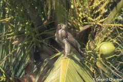 Butastar indicus (Grey-faced Buzzard) (GeeC) Tags: butastarindicus animalia aves accipitriformes nature chordata kohkongprovince cambodia tatai accipitridae butastar birds greyfacedbuzzard hawks
