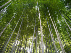 In the grove (Tim Ravenscroft) Tags: bamboo grove forest foliage shisendo kyoto japan hasselblad hasselbladx1d