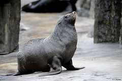 Northern Fur Seal - Callorhinus ursinus (HGHjim) Tags: