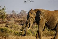 """Enjoying the last sun rays"", Adult male Elephant, Kruger National Park, South Africa   ""A desfrutar os últimos raios de sol"", Elefante macho adulto, Parque nacional Kruger, Africa do Sul (paulomarquesfotografia) Tags: enjoying last sun rays adult male elephant kruger national park south africa a desfrutar os últimos raios de sol elefante macho adulto parque nacional do sul sony a230 sal75300mm paulo marques animal animale wild life wildlife vida selvagem vidaselvagem"